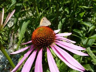 Sonnenhut mit Schmetterling - Sonnenhut, Gartenpflanze, Scheinsonnenhut, Echinacea, Igelköpfe, Schmetterling, Großes Ochsenauge, Edelfalter