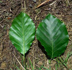 Buchenblatt - Rotbuche, Buche, zweikeimblättrig, Buchengewächs, fagus silvatica, eiförmig, oval, glatt, glänzend