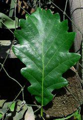 Eichenblatt #1 - Eiche, Laubbaum, Blatt, gebuchtet, Blattrand, glatt