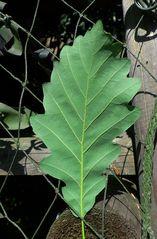 Eichenblatt #2 - Eiche, Laubbaum, Blatt, gebuchtet, Blattrand, glatt