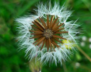 Wiesenbocksbart - Flugsamen, Tragopogon pratensis, Asteraceae, Wiesenbocksbart, Korbblütler, Fruchtstand