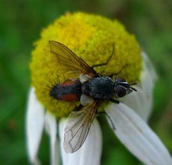 Rotgefleckte Raupenfliege - Insekt, Rotgefleckte Raupenfliege, Eriothrix rufomaculatus, Tachinidae