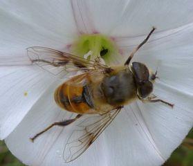 Mistbiene - Eristalis tenax, Schlammbiene, Scheinbienen-Keilfleckschwebfliege, Schwebfliege