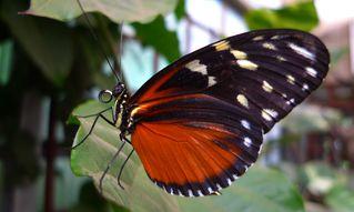 Schmetterling - Schmetterling, Falter, Rüssel