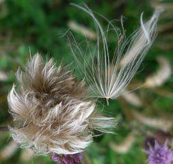 Wollgras - Wollgras, Eriophorum latifolium, Wiese, Gras, Moor, feucht, Gras, Hochmoor, einkeimblättrig, Süßgras, Sauergras, weich, weiß, zerzaust, ausgefranst, Tundra