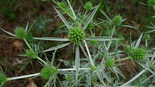 Distel - Distel, Eryngium campestre, Feld-Mannstreu, Doldenblütler, Apiaceae