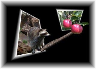Aus dem Rahmen ... (1) - Waschbär, Apfel, Fotomontage, Effektbild