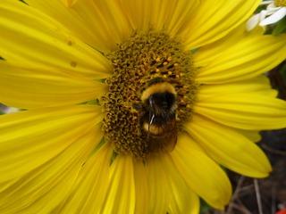 Hummel auf Nektarsuche - Hummel, Hautflügler, staatenbildendes Insekt, glb-braun, Stachel, Drohnen, Arbeiterinnen, Königin, Sonnenblume, Korbblütler, groß, gelb