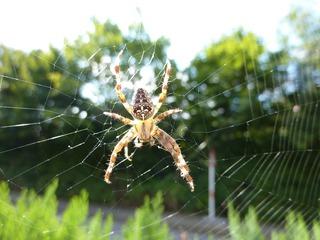 Kreuzspinne - Spinne, Kreuzspinne, Spinnennetz, Webspinne, Radnetzspinne
