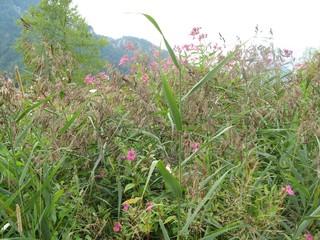 Springkraut  - Springkraut, Impatiens glandulifera, Balsaminengewächs, Schilf, Neophyt