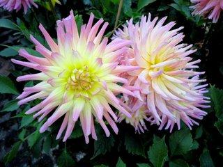 Kaktus-Dahlie - Blüte, Dahlie, Korbblütler, Knolle