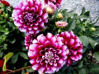 Dahlienblüten - Blüte, Dahlie, Gartenpflanze, Knollen