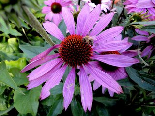 Blüte des Sonnenhuts (Echinacea) - Sonnenhut, Blüte, rosa, Korbblütler, Heilpflaze