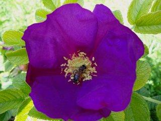 Heckenrose - Heckenrose, Wildrose, Hagebutte, Biene