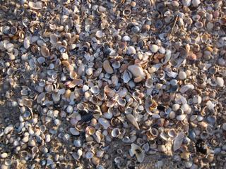 Muscheln (Gehäuse) - Natur, Muscheln, Weichtiere, Muschelschalen, Ostsee