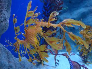 Leafy Seadragon_Großer Fetzenfisch - Meer, Tiere, Unterwasserwelt, Fische, exotisch, Auswüchse, Tarnung