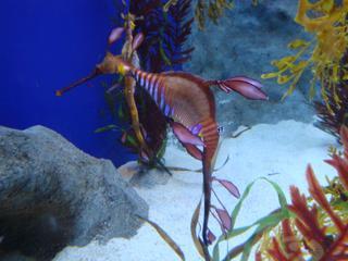 Weedy Seadragon_Kleiner Fetzenfisch - Meer, Tiere, Unterwasserwelt, Fisch, exotisch, Seedrachen, Seenadel