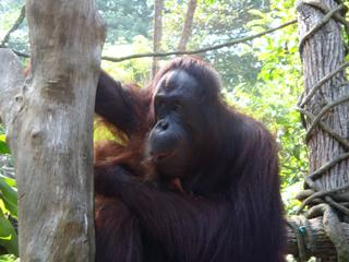 Orang Utan_1 - Sumatra, Borneo, Primaten, Affen, Menschenaffen, rotbraunes Fell, Orang-Utan, Primat, Affe, Menschenaffe, Trockennasenaffe, Pflanzenfresser, Asien, Südostasien, Säugetier