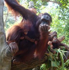 Orang Utan_2 - Sumatra, Borneo, Primaten, Affen, Menschenaffen, rotbraunes Fell, Trockennasenaffe, Pflanzenfresser, Asien, Südostasien, Säugetier