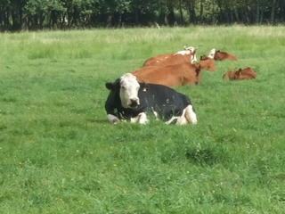 Kuh - Natur, Tier, Nutztier, Milch, Kuh, Fleckvieh