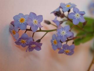 Vergissmeinnicht - Vergissmeinnicht, Blumen, Blüten, Kräuter, Pflanzen