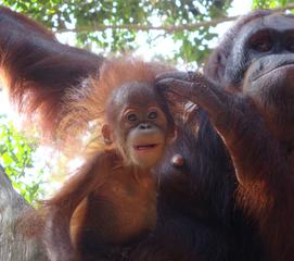 Orang Utan_3 - Sumatra, Borneo, Primaten, Affen, Menschenaffen, rotbraunes Fell, Trockennasenaffe, Pflanzenfresser, Asien, Südostasien, Säugetier