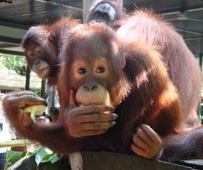 Orang Utan_4 - Sumatra, Borneo, Primaten, Affen, Menschenaffen, rotbraunes Fell, Trockennasenaffe, Pflanzenfresser, Asien, Südostasien, Säugetier