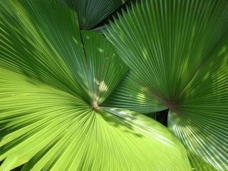 Blätter einer Hanfpalme - Palme, Hanfpalme, Blatt, Fächerblatt, Segmente, Nutzpflanze