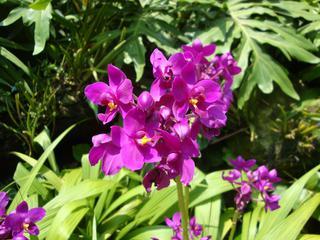 Orchidee_1 - Orchidee, Orchideen, Blüte, Blüten, rosa, Stempel, Pflanze, Pflanzen, Blume, Blumen, Phalaenopsis