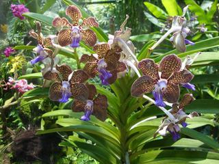 Orchidee_2 - Orchidee, Orchideen, Blüte, Blüten, Stempel, Pflanze, Pflanzen, Blume, Blumen, Phalaenopsis