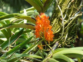Orchidee_3 - Orchidee, Orchideen, Blüte, Blüten, Stempel, Pflanze, Pflanzen, Blume, Blumen, Cymbidium