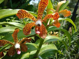 Orchidee_5 - Orchidee, Orchideen, Blüte, Blüten, Stempel, Pflanze, Pflanzen, Blume, Blumen