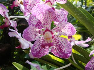 Orchidee_7 - Orchidee, Orchideen, Blüte, Blüten, Stempel, Pflanze, Pflanzen, Blume, Blumen, Phalaenopsis