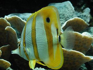 Falterfisch - Korallenfische, Fische, Aquarium, Meer, Korallenriff, Borstenzähne, Riff, Atlantischer ozean, Indischer Ozean