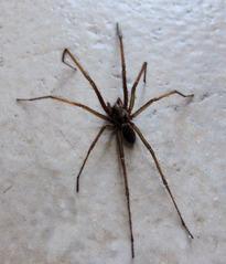 Hausspinne #1 - Spinne, Schreibanlass, Gliederfüßer, Spinnentiere, Häutungstiere, Ekel, krabbeln, acht, Beine, haarig, Haare, Hausspinne, Winkelspinne