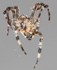 Spinne - Spinne, Gliederfüßer, Spinnentiere, Häutungstiere, Ekel