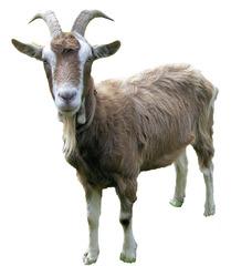 Ziege #5 - Ziege, Toggenburger Ziege, Geiß, Zicke, Zicklein, Hippe, Zibbe, Bock, Geißbock, Hausziege, Hörner, Wiese, Haustier, Säugetier, Nutztier, Fell, Paarhufer, Pflanzenfresser