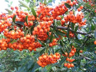 Feuerdorn#2 - Feuerdorn, Strauch, Dorn, Rosengewächs, Beeren, Ziergehölz, Vogelschutzgehölz
