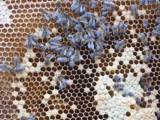Bienen mit Königin - Biene, Bienenvolk, Bienenkönigin, Wabengebilde, Zellen, Bienenhaltung, Arbeiterinnen