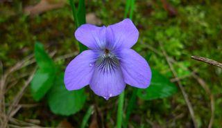 Veilchen - Veilchen, blau, Frühblüher, Frühjahr