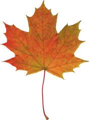 Ahornblatt - Ahorn, Spitzahorn, Ahornblatt, Herbstlaub, Laub, Laubblatt, Blatt, Herbst, Herbstfärbung, orange-rot