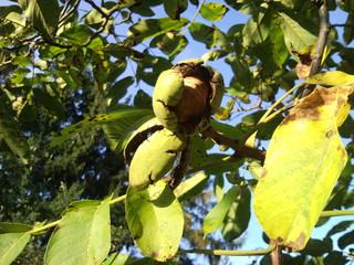 Walnuss 1 - Walnuss, Nuss, Natur, heimische Pflanzen, Nahrungsmittel, Baum, Laubbaum, Frucht, Nussbaum, unreif, Umhüllung, Blätter