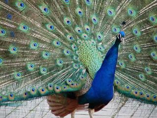 Radschlagender Pfau - Fasanenartige, Hühnervogel, Pfau, blau, grün, bunt, Federn, Ziervogel, glänzend, Schmuck, schillernd, Schwanzfedern, Rad schlagen, Haustier, balzen Pfau, Schmuck, Gefieder, Rad schlagen, Männchen, Wörter mit Pf, Anlaut Pf