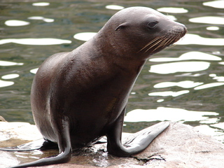Seerobbe - Robbe, Meeressäuger, schwimmen, Flosse, Meer, Nordsee, Jungtier