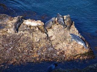 Robben auf Felsen - Robbe, Meeressäuger, schwimmen, Flosse, Meer, Pazifik, Wildtiere, freilebend, Jungtier