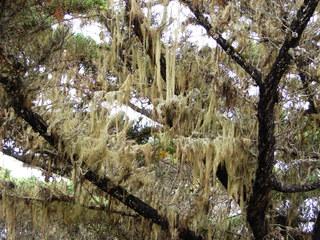 Flechten im Baum - Flechte, Flechten, Baum, Regenwald, Baumbart, Bartflechte