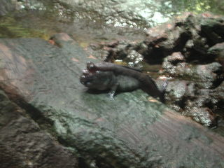 Schlammspringer - Schlammspringer, lebendes Fossil, Mangrovenwald, Schlick, Fisch, Mangrove, Amphibie