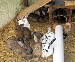 Kaninchen #2 - Kaninchen, Hase, Hasenartige, Haustier, Freilauf, Pflanzenfresser, Leporidae, Karnickel, Nagetier, Fell, Ohren, Meerschweinchen, zählen