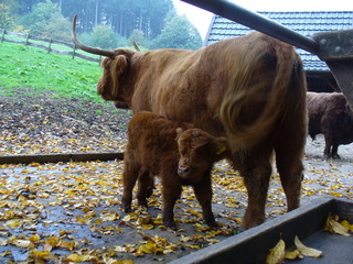 Schottisches Hochlandrind - Schottisches Hochlandrind, Jungtier, Tierpark, Schottland, Rind, Wiederkäuer, Hörner, zottelig