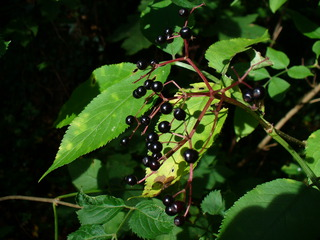 Holunder - Strauch, schwarze Beeren, Pflanzenheilmittel, Nahrung für Vögel, Herstellung von Saft, Gelee, Wein, Schnaps
